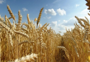 Wheat production can inject $13.4b into the economy – AfDB President, Akinwunmi Adesina