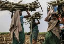 India's Sugar Production Set to Reach Record in 2018 on Higher Yields
