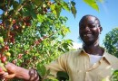 Angolan coffee export set to return to USA after a 40 year break