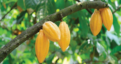Cocoa production