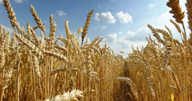 wheat production in Nigeria