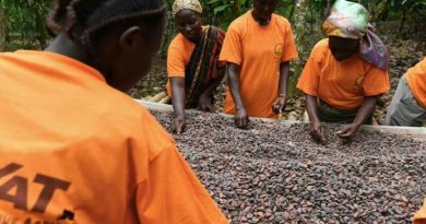 cocoa drying