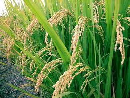 Nigeria Rice Straight From Farm, Nutritious – FCT Residents