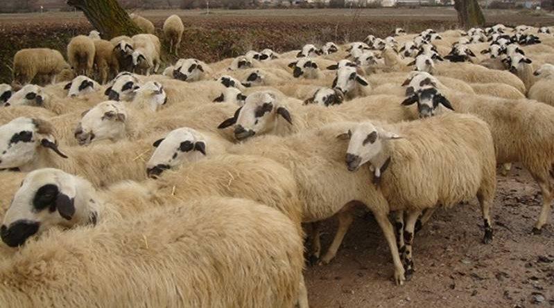 Sheep and goat livestocks animal husbandry
